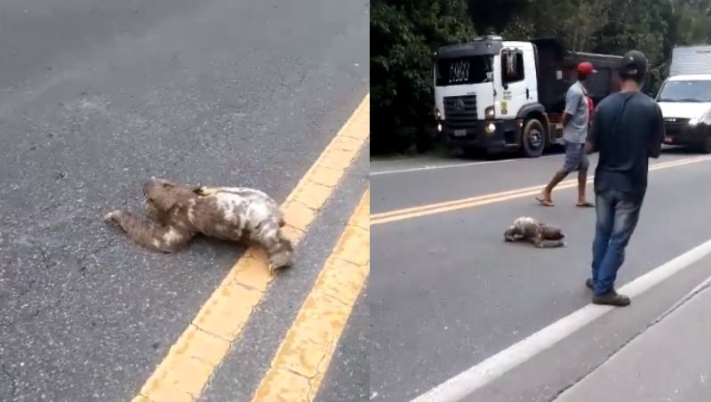 Motoristas param pra bichos-preguiça atravessarem rodovia em Bertioga; vídeo