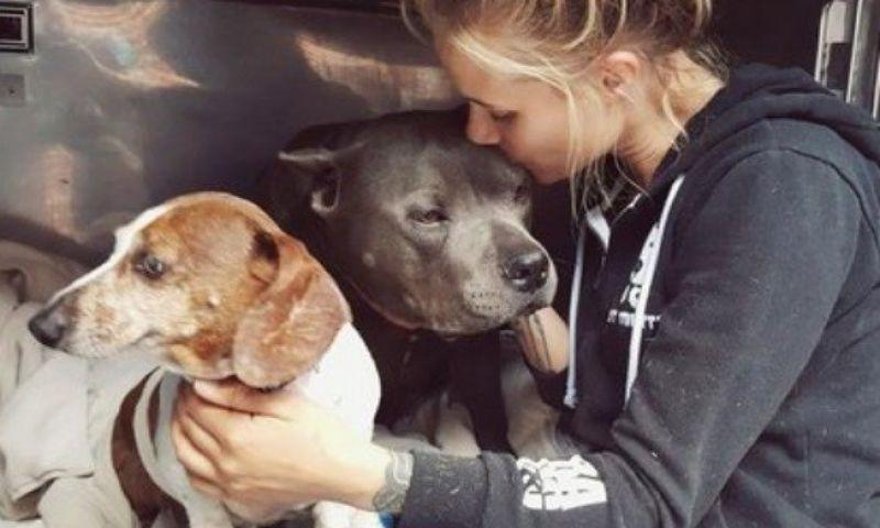 Dachshund cego tem Pit Bull como cão-guia; juntos eles procuram por um lar