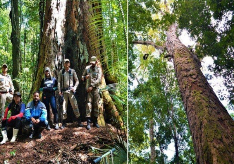 Maior árvore da Amazônia com 88 metros sobrevive às queimadas
