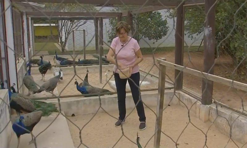 Aos 78 anos, idosa cuida de quase 90 pavões no interior de São Paulo: 'Meus bebês'