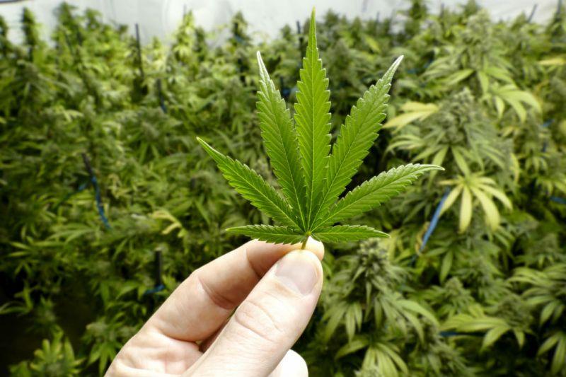 Ministro do STF considera que importar semente de cannabis não é crime