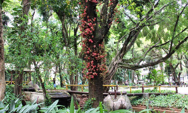 Árvore exótica vira atração no Parque Halfeld