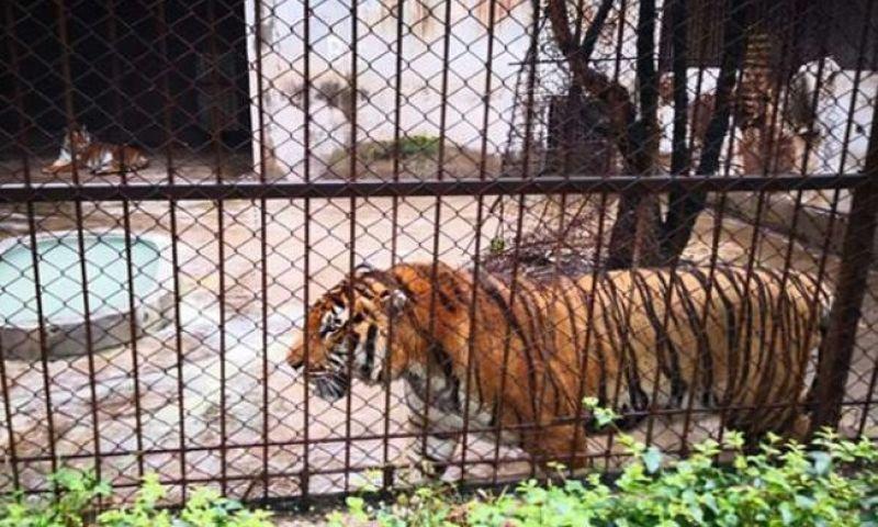 Cuidador morre após ser atacado por tigre dentro de jaula em zoológico na China