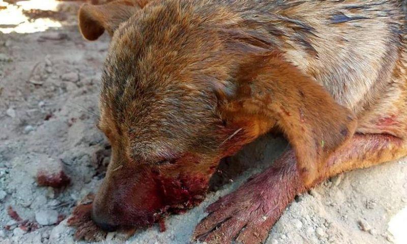 Agressão a tiros contra cadela virou caso de polícia em Caeté, MG