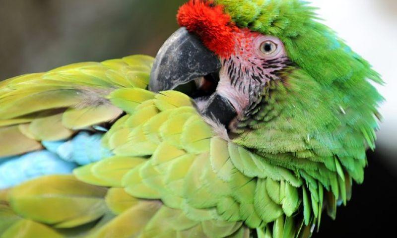 A ave está arrancando as próprias penas? Confira motivos para o comportamento