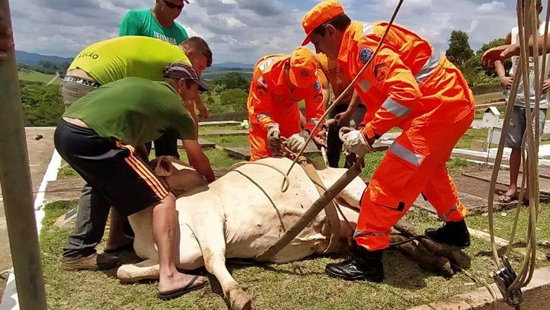 Vaca de 400 kg é resgatada viva de dentro de cova de cemitério em MG