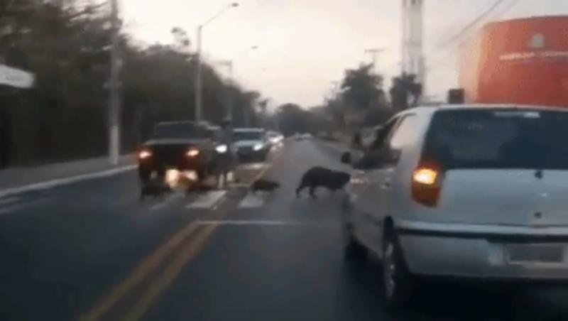 Família de capivaras é flagrada atravessando faixa de pedestres em horário de pico em Cuiabá; veja vídeo