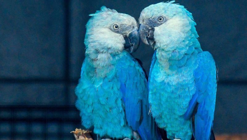 Ararinha-azul ganha novo plano de conservação que prevê soltura na natureza até 2021