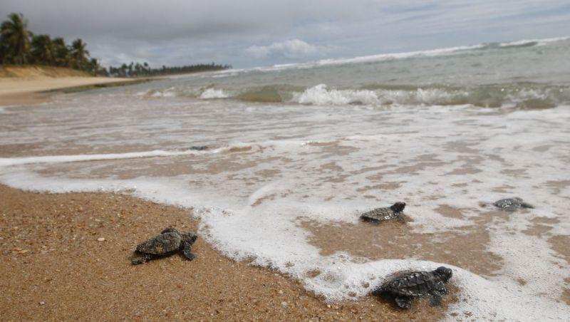 Comunidades locais protegem tartarugas que desovam na costa brasileira