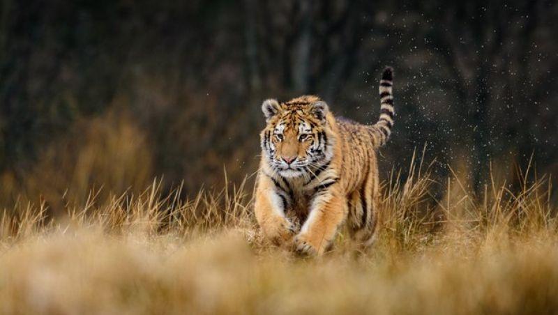 Homem é atacado e derrubado por tigre na Índia; assista