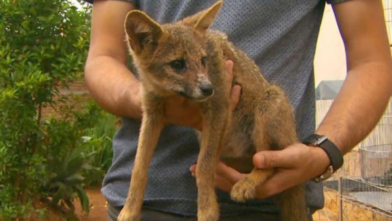 Filhote de raposa resgatado em casa era criado como cachorro em Santa Rita do Sapucaí, MG