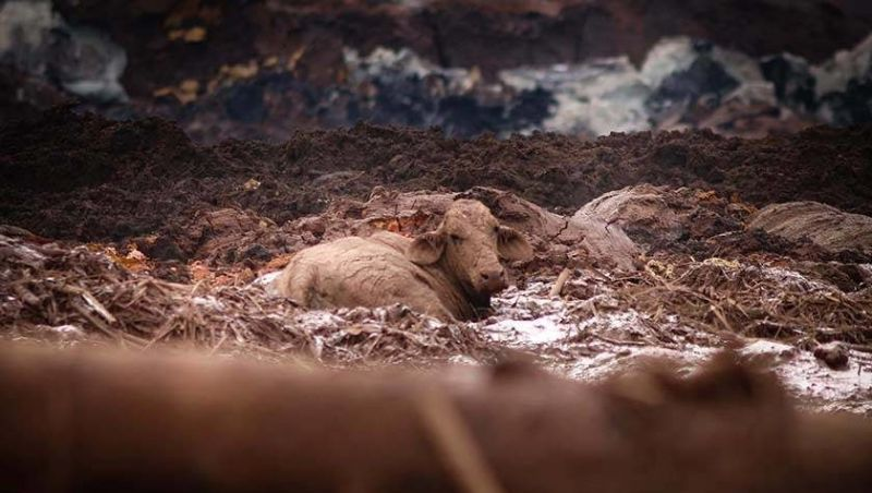 Animais debilitados são sacrificados após rompimento da barragem de Brumadinho